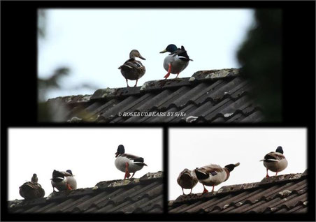 Planespotter auf dem Hausdach. Der fremde Erpel durfte schließlich doch bleiben.