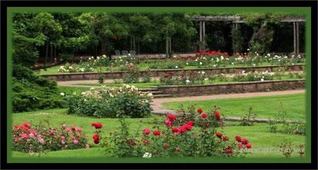 Rosenbeete Stadtpark Hannover