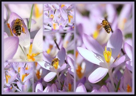 Elfenkrokus Biene