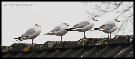 Füße wärmen auf dem Hausdach - Möwen vom nahen Mittellandkanal