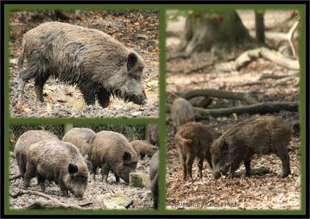 Wildschweinrotte im Wisentgehege Springe