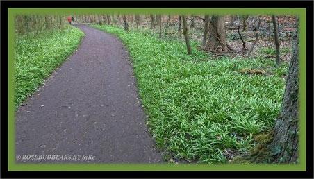 Hannover Eilenriede Berliner Lauch Wunderlauch Allium Paradoxum