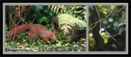 Eichhörnchen Kohlmeise