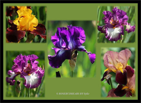 Herrenhäuser Gärten Berggarten Iris