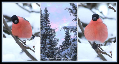 Das Dompfaff-Männchen im Schnee
