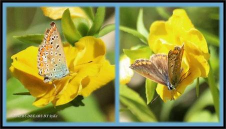 auch das ist ein Bläuling - die Männchen sind an der Oberseite blau, die Weibchen dagegen braun - es gibt viele verschiedene Bläulinge - große und kleine - das hier ist eine größere Art