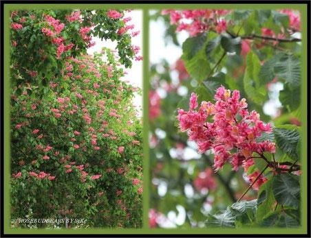 Hannover Kastanienbäume Kastanienblüte rot