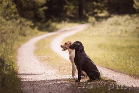Die Entscheidung Labrador Retriever Field Trial Line Labrador Retriever Outdoor