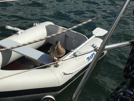 Ente wartet auf Fütterung