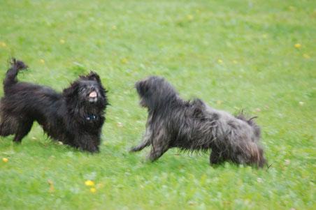 Lady und Ronja beim Spielen, Ronja bleckt die Zähne