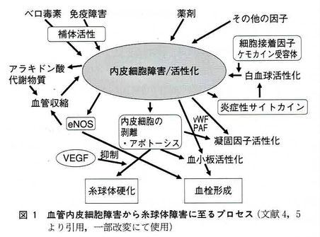 血管内皮細胞障害から糸球体障害に至るプロセス