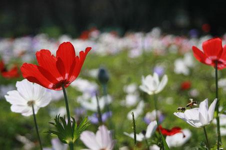 イエスの復活を象徴する「野の花アネモネ」