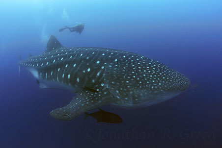 Adult whale shark with diver in Galapagos
