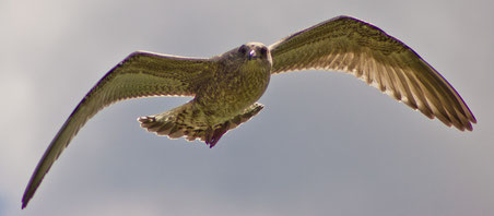 Adler der Freiheit