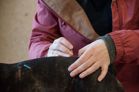 Akupunktur am Hund, Tierheilpraxis Tiebes