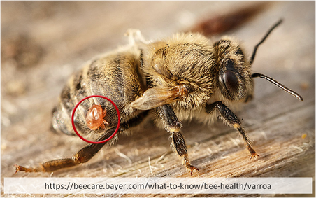 Varroamilbe auf Biene