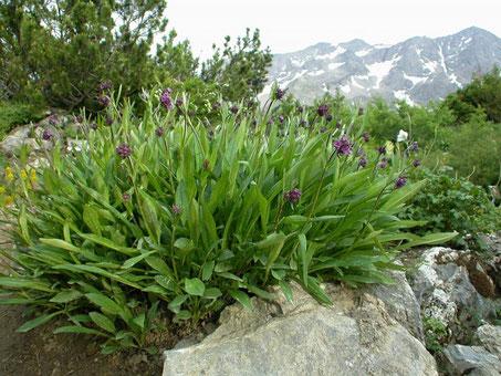 Nard jatamansi - Jardin Botanique Alpin du Lautaret -Diffusé par Station Alpine Joseph Fourier