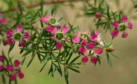 Manuka - Leptospermum scoparium - Via Flickr - By Cerlin Ng