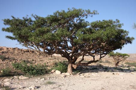 Boswellia sacra - Encens oliban dit Encens sacré