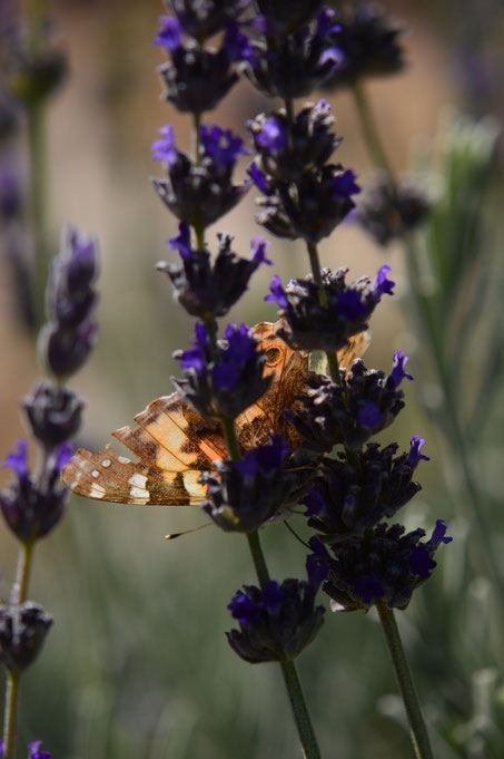 butterfly, painted lady, vanessa, cardui, photography, amy myers, small sunny garden, desert garden