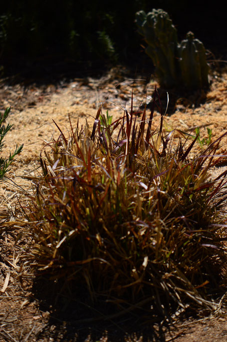 small sunny garden, desert garden, amy myers, photography, tuesday view, march, spring, pennisetum, rubrum