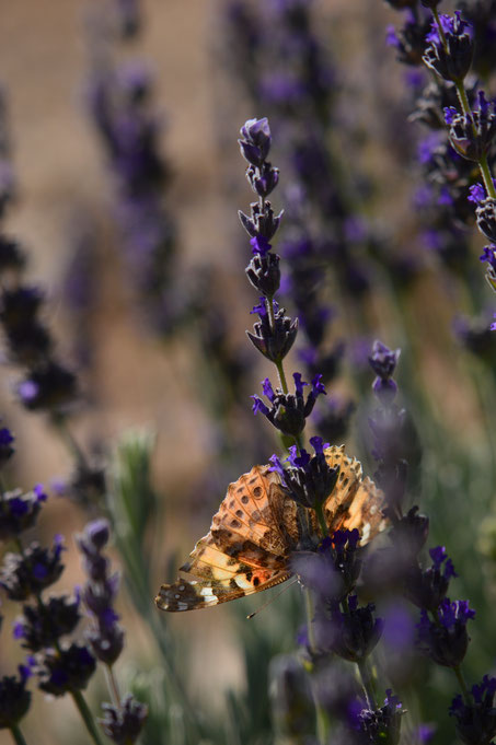 butterfly, painted lady, vanessa, cardui, photography, amy myers, small sunny garden, desert garden, lavender