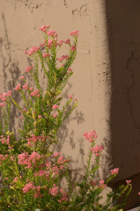 small sunny garden, desert garden, amy myers, photography, gbbd, garden bloggers bloom day, spring, flowers, ozothamnus, diosmifolius, rice flower, pink