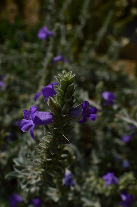 small sunny garden, desert garden, amy myers, photography, garden blog, tuesday view, eremophila hygrophana