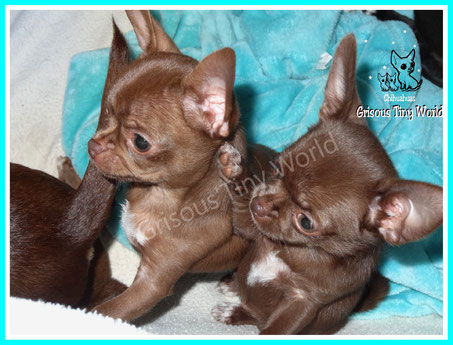 Chiots chihuahua , elevage chihuahua Grisous'Tiny World