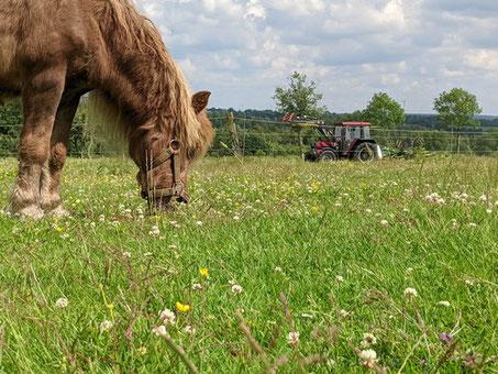 Kuh auf Weide am Wald vom Hohen Venn