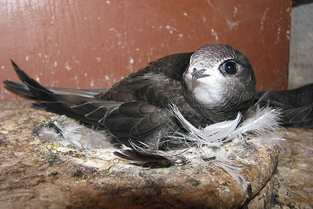 Junger Mauersegler im Nest  Foto: Erlenbach NABU