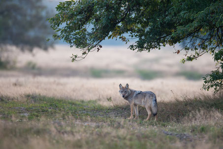 Wolf in der Landschaft (NABU/Borris)