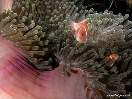 anémone, poissons clowns