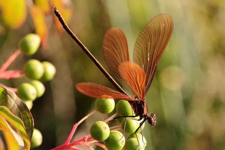 """Ein männliches Jungtier der Bronzenen Prachtlibelle, Calopteryx haemorrhoidalis, beim """"wing clapping"""" bei großer Hitze."""
