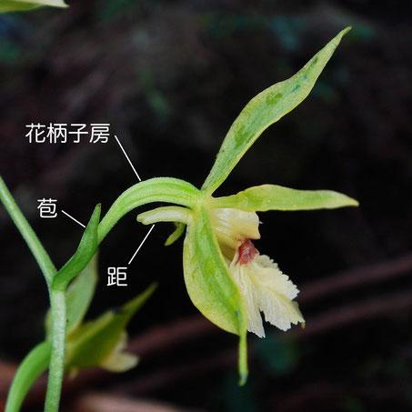 キンセイランの花は花柄子房にねじれがなく唇弁を下側につける、ストレート・唇弁下側タイプ