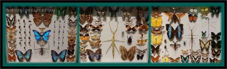 Regenwald-Schmetterlinge und -Käfer, mal echt und nicht gemalt, nur leider tot