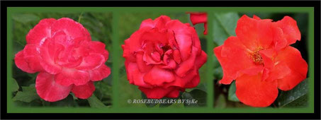 Rosen im Stadtpark Hannover
