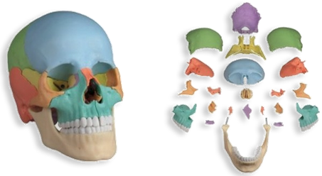 頭蓋骨はいくつかの骨の集まり 小顔矯正 アドバイス