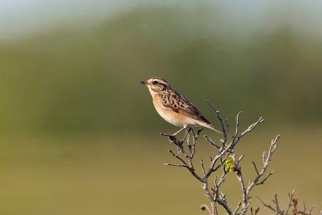 Der Stieglitz (Foto: Hartwig Helmerichs) Zum Jahresvogel bitte Foto anklicken