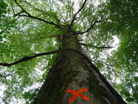 Arbre dans la forêt du Bager sud d'Oloron évalué à plus de 250 ans. Remararquable, il en reste si peux ! l'ACCOB tient à le Labelliser.