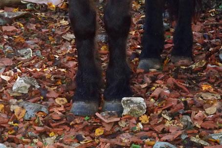Le sol est sabiliser par endroit pour limiter la boue et renforcer les pieds de nos chevaux sans fer