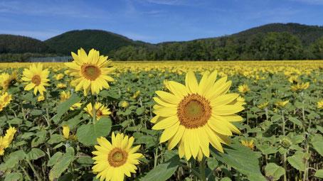 網走の夏の景色「ひまわり畑」