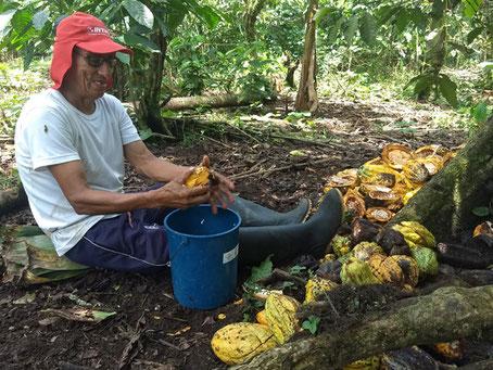 Don Manuel holt die Kakaobohnen aus der Schote
