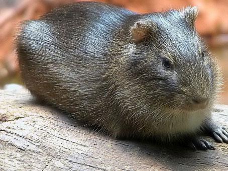 Das Wildmeerschweinchen (Cavia aperea) sieht dem Tschudi Meerschweinchen sehr ähnlich. Quelle: Petra Karstedt auf wikipedia.de