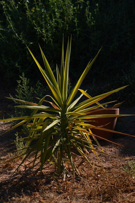 small sunny garden, desert garden, amy myers, photography, garden photography, garden blog, yucca