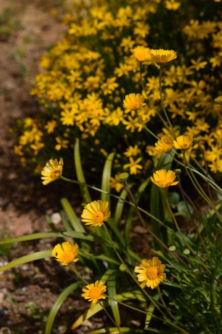small sunny garden, desert garden, amy myers, photography, garden blog, tetraneuris acaulis, angelita daisy