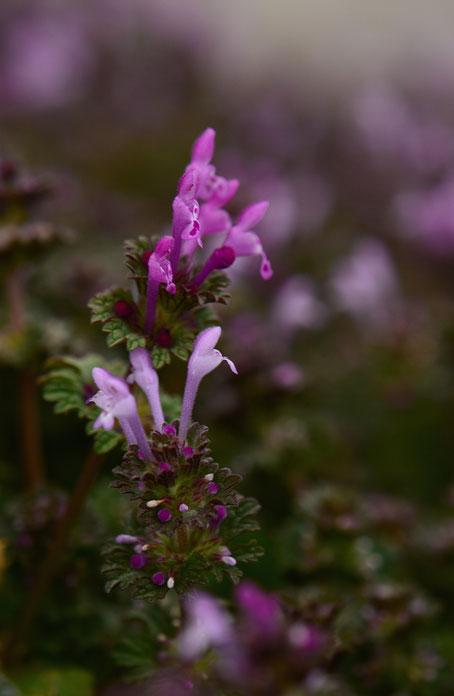 henbit, Lamium amplexicaule, amy myers photography