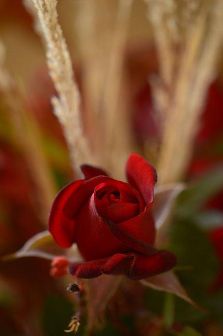 miniature red rose Daniela