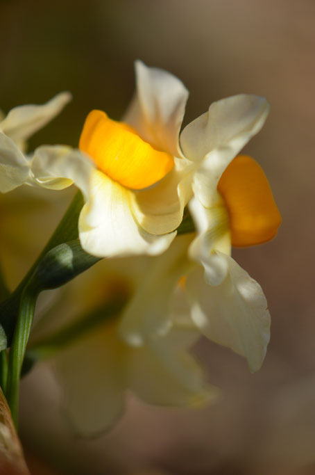 small sunny garden, desert garden, amy myers, photography, narcissus, tazetta, autumn colors