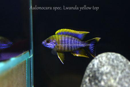 Аулонокара, Аулонокара спец. Лванда Еллоу топ, Aulonocara, Aulonocara spec. Lwanda, Aulonocara spec. Lwanda yellow top
